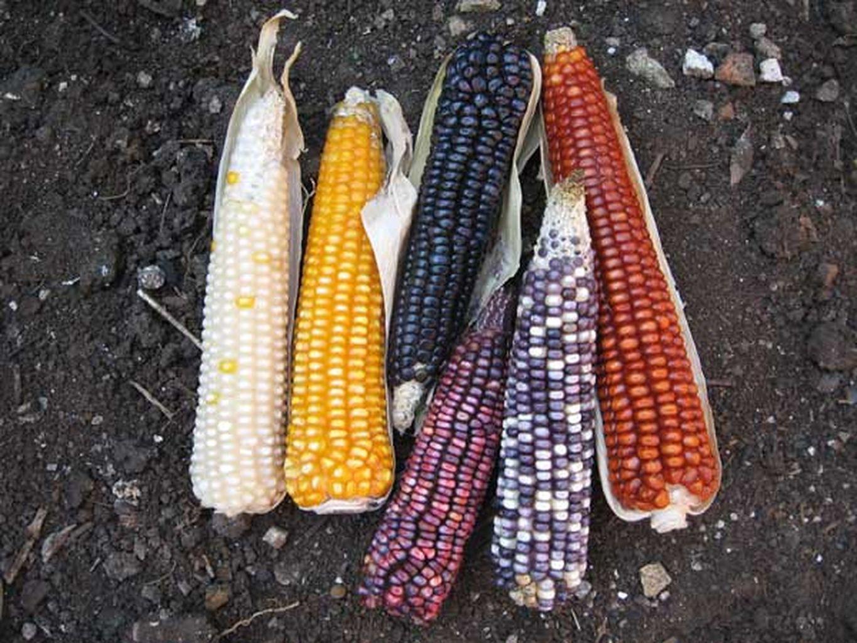 maiz-colores